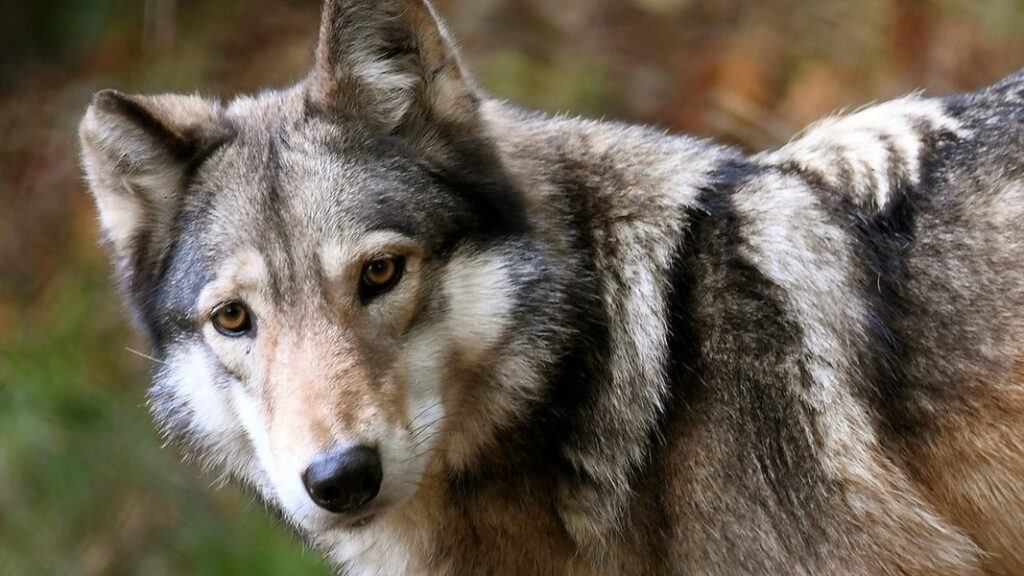 Abschuss von Wölfen: Land nimmt Kollateralschäden in Kauf